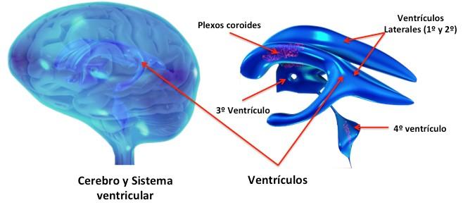 Líquido que rodea la médula espinal y baña los ventrículos del cerebro